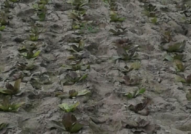 La nuova produzione di Radicchio cresce in serra